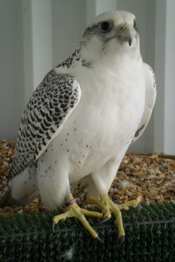 GyrFalcons for Sale - D. Jamieson lines and Father Dr. Nick Fox lines. Falcon Breeding