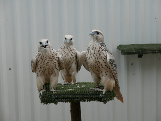 Young GyrFalcons